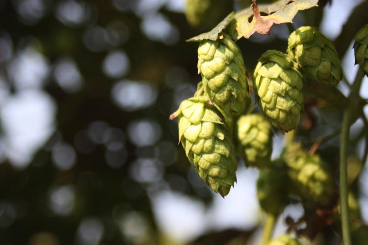 Brewers Association Funds Public Hop Breeding Program