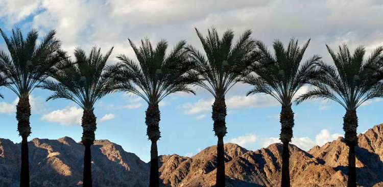 A row of palm trees - Source - The Greater Palm Springs Convention & Visitors Bureau https://www.visitgreaterpalmsprings.com/