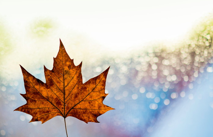 A Maple Leaf - Photo by Kai Oberhäuser on Unsplash