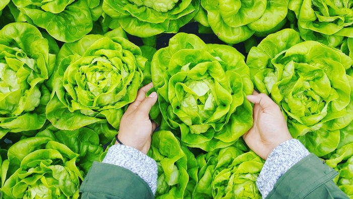 person picking green cabbage - Photo by PHÚC LONG on Unsplash