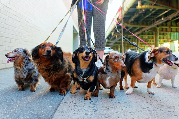Several dogs on leashes
